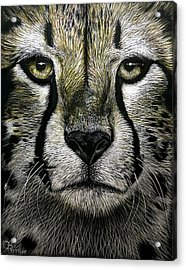 Cheetah  Acrylic Print by Chris Perry