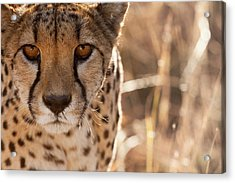 Cheetah Conservation Fund, Namibia Acrylic Print by Janet Muir