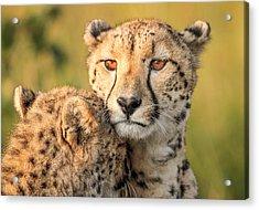 Cheetah Eyes Acrylic Print