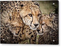 Cheetah Family Portrait Acrylic Print