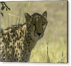 Cheetah Gaze Acrylic Print by LeeAnn McLaneGoetz McLaneGoetzStudioLLCcom