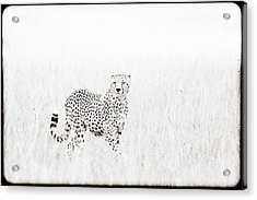 Cheetah In The Grass Acrylic Print by Mike Gaudaur