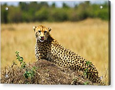 Cheetah Acrylic Print by Kongsak Sumano