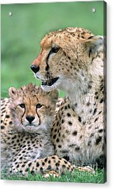 Cheetah Mother And Cub Acrylic Print by Yva Momatiuk John Eastcott