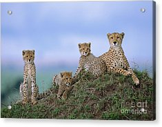 Cheetah Mother And Cubs Masai Mara Acrylic Print by Yva Momatiuk John Eastcott