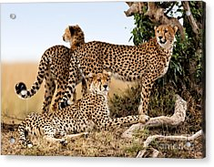 Cheetah Mother And Two Older Cubs In Masai Mara Acrylic Print by Maggy Meyer