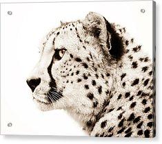 Cheetah Acrylic Print by Jacky Gerritsen