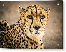Cheetah Portrait - Color Photograph Acrylic Print