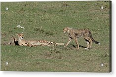 Cheetah Relaxing With Her Cubs Acrylic Print