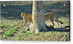 Cheetah Stretch Acrylic Print