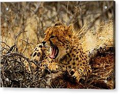 Cheetah Teeth Acrylic Print
