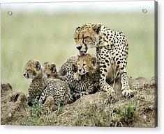 Cheetahs Acrylic Print by Giuseppe D\\\'amico