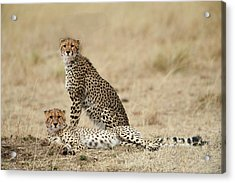 Cheetahs Resting Acrylic Print by Phyllis Peterson