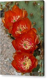 Acrylic Print featuring the photograph Chenille Prickly Pear Quartet by Cindy McDaniel