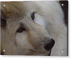 Montana Wolf  Acrylic Print