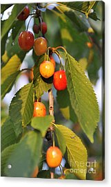 Cherries On Branch At Spring Acrylic Print by Sami Sarkis