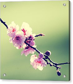 Acrylic Print featuring the photograph Cherry Blooms by Yulia Kazansky