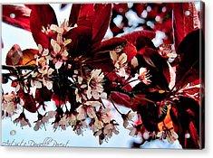Cherry Blosoms 2 Acrylic Print by Danielle  Parent