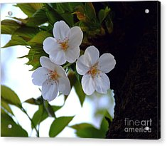 Acrylic Print featuring the photograph Cherry Blossom by Andrea Anderegg