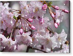 Cherry Blossom Blooms Acrylic Print by Lisa Phillips