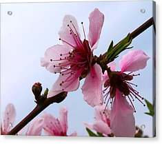 Cherry Blossom Acrylic Print by Camille Lopez
