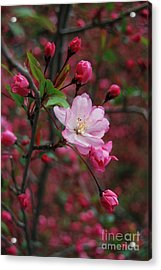 Acrylic Print featuring the photograph Cherry Blossom by Eva Kaufman