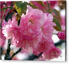 Acrylic Print featuring the photograph Cherry Blossom by Gena Weiser