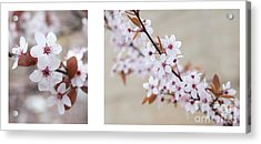 cherry blossom II Acrylic Print by Hannes Cmarits
