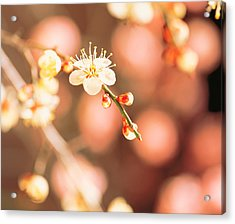 Cherry Blossom In Selective Focus Acrylic Print by Panoramic Images