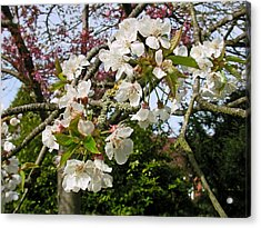 Cherry Blossom In The Spring Acrylic Print