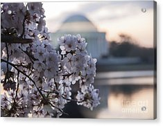 Cherry Blossom Memories Acrylic Print