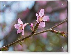 Cherry Blossom Against Green Background Acrylic Print by Priyanka Ravi