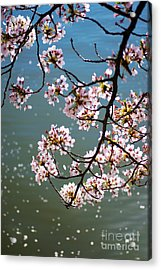 Cherry Blossom Acrylic Print by Rima Biswas