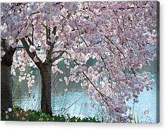 Cherry Blossom Acrylic Print by Robin Hassler