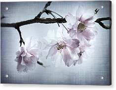 Cherry Blossom Sweetness Acrylic Print by Kathy Clark
