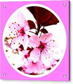 Cherry Blossom Acrylic Print by The Creative Minds Art and Photography