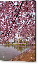 Cherry Blossom Tree Acrylic Print by Mitch Cat