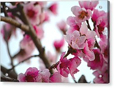 Cherry Blossoms 1 Acrylic Print by Deprise Brescia