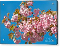 Cherry Blossoms 2 Acrylic Print by Sharon Talson