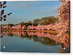 Cherry Blossoms 2013 - 001 Acrylic Print by Metro DC Photography