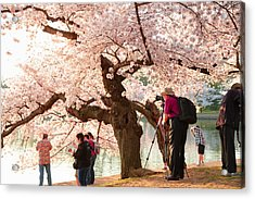 Cherry Blossoms 2013 - 006 Acrylic Print by Metro DC Photography