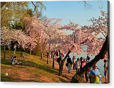 Cherry Blossoms 2013 - 007 Acrylic Print by Metro DC Photography