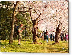 Cherry Blossoms 2013 - 009 Acrylic Print by Metro DC Photography