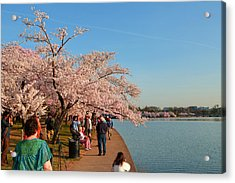 Cherry Blossoms 2013 - 010 Acrylic Print by Metro DC Photography