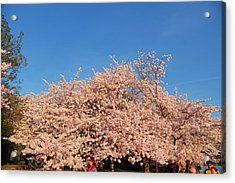 Cherry Blossoms 2013 - 011 Acrylic Print by Metro DC Photography