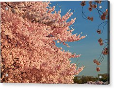 Cherry Blossoms 2013 - 013 Acrylic Print by Metro DC Photography