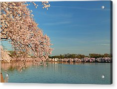 Cherry Blossoms 2013 - 017 Acrylic Print by Metro DC Photography