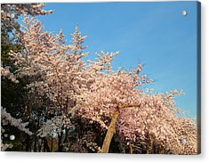 Cherry Blossoms 2013 - 019 Acrylic Print by Metro DC Photography