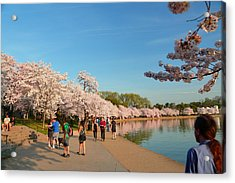 Cherry Blossoms 2013 - 020 Acrylic Print by Metro DC Photography