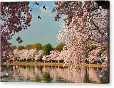 Cherry Blossoms 2013 - 023 Acrylic Print by Metro DC Photography